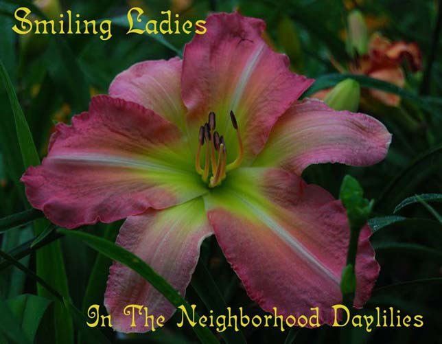 Smiling Ladies  (Arnold, L., 2001)-Daylily Smiling Ladies;L.Arnold Daylily;Rose Pink Bitone w' White Midribs Daylily;Daylily Picture;Perennial;Fragrant Daylily;Early Midseason Daylily;Reblooming Daylilies;Evergreen Daylily