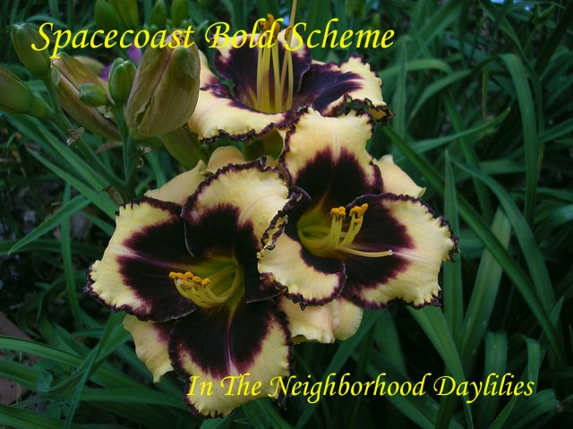 Spacecoast Bold Scheme  (Kinnebrew, J., 1998)-Daylily;Day Lily;Daylilies;CLICK IMAGE TO ENLARGE;Daylily Spacecoast Bold Scheme;J.Kinnebrew Daylily;Cream w' Black Purple Eye Daylily;Daylily Picture;Perennial;Affordable Daylilies;Early Midseason Daylily;Reblooming Daylilies