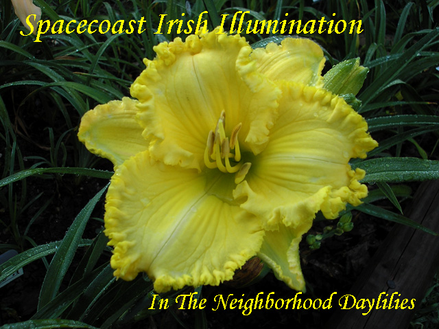 Spacecoast Irish Illumination  (Kinnebrew, J.,  2008)-Daylily;Daylilies;Daylillies;CLICK ON IMAGE TO ENLARGE;Daylily Spacecoast Irish Illumination:2008 J. Kinnebrew Daylily;Bright Lemon Ruffled Self Daylily;Reblooming Daylilies