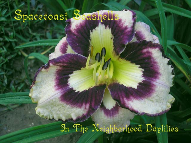 Spacecoast Sea Shells   (Kinnebrew, J., 2003)-Daylily;Daylilies;Day Lily;CLICK ON IMAGE TO ENLARGE;Daylily Spacecoast Sea Shells;J.Kinnebrew Daylily;Cream w' Purple Eye & Edge Daylily;Daylily Picture;Perennial;Award Winning Daylily;Early Midseason Daylily;Reblooming Daylilies