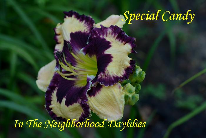 Special Candy  (Stamile,  2006)-Daylily;Daylilies;Day Lily;CLICK IMAGE TO ENLARGE;Daylily Special Candy;Stamile 2006 Daylily;Cream w' Violet Eye&Violet Silver Edge Daylily;Award Winning Daylily;Reblooming Daylilies;Tetraploid Daylily