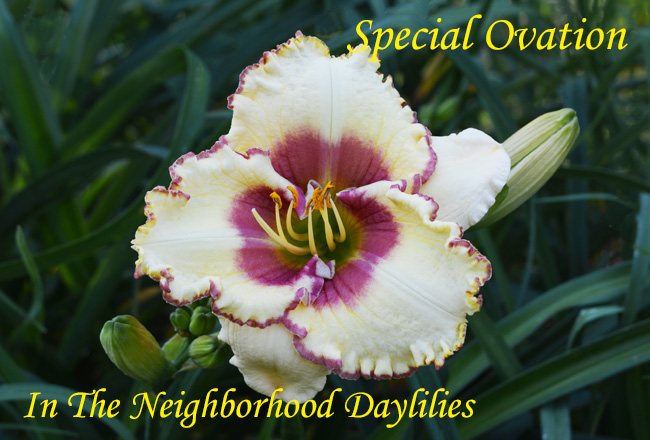Special Ovation   (Stamile, 2005)-Daylily;Daylilies;Day Lily;CLICK ON IMAGE TO ENLARGE;Daylily Special Ovation;Stamile 2005 Daylily;Cream w' Rose Red Eye & Edge Daylily;Daylily Picture;Perennial;Early Season Daylily;Reblooming Daylilies