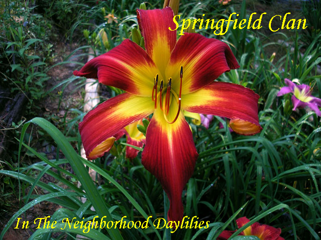 Springfield Clan  (Trimmer, J.,  2001)-Daylily;Daylilies;Day Lily;Daylillies;CLICK IMAGE TO ENLARGE;Daylily Springfield Clan;J.Trimmer 2001 Daylily;Award Winning Daylily;Unusual Form Daylily;Crimson Red Self Daylily;Reblooming Daylilies