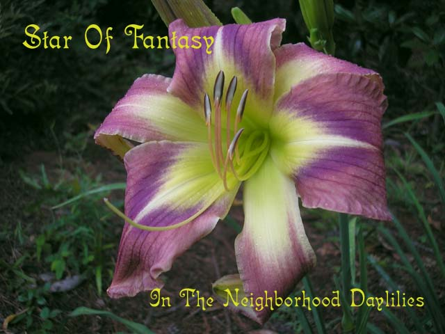 Star Of Fantasy  (McRae,  1992)-Daylily;Daylilies;Daylily Star Of Fantasy;McRae 1992 Daylily;Cream Green w'Mauve Bicolor & Cream Green Eye Daylily;Fragrant Daylilies;Extended Bloom Time Daylilies