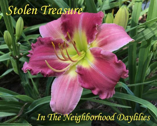 Stolen Treasure  (Dougherty, 1996)-Daylily Stolen Treasure;Dougherty Daylily;Pink Bitone w' Cream Border Daylily;Daylily Picture;Perennial;Award Winning Daylily;Early Midseason Daylily;Dormant Daylily