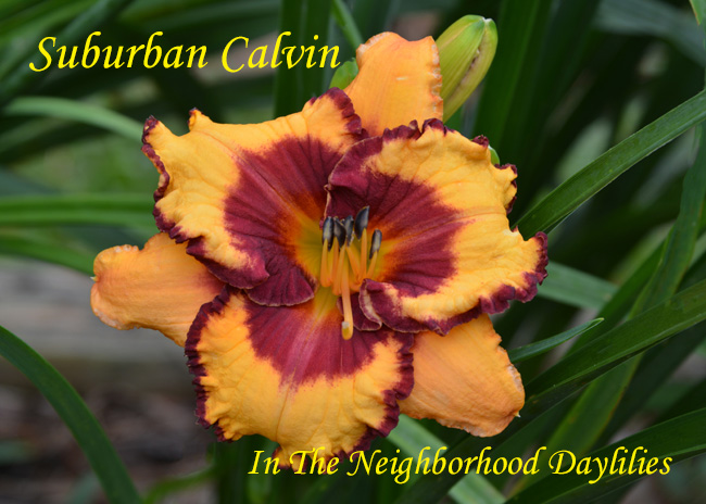 Suburban Calvin  (Watts  2005)-Daylily;Daylilies;Day Lily;CLICK ON IMAGE TO ENLARGE;Daylily Suburban Calvin;Watts 2005 Daylily;Light Orange w' Burgundy Eye & Edge Above Gold Throat Daylily;Reblooming Daylilies;Tetraploid Daylily;Perennial