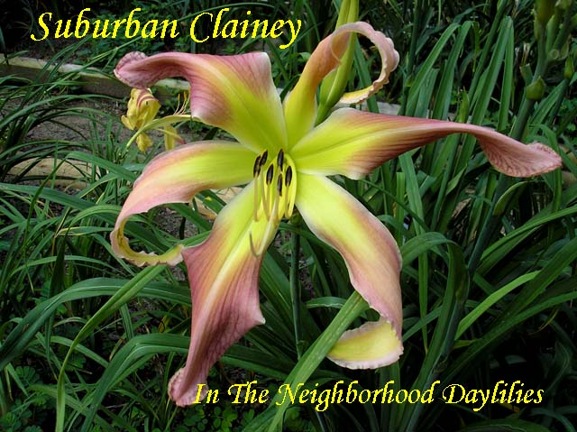 Suburban Clainey  (Watts,  2004)-Daylily;Daylilies;Daylillies;CLICK ON PICTURE TO ENLARGE;Suburban Clainey Daylily;Watts 2004 Daylily;Light Rose Pink Self Above Yellow to Green Throat Daylily;Unusual Form Daylily;Reblooming Daylilies
