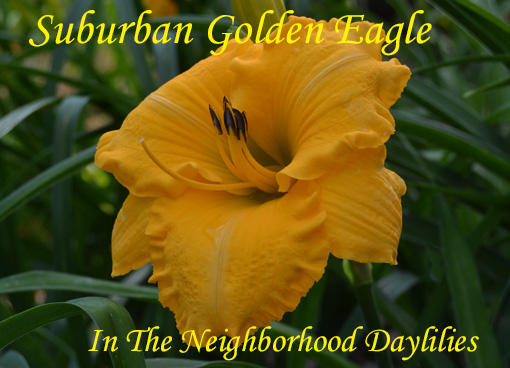 Suburban Golden Eagle   (Watts,  1998)-Daylily;Day Lily;Daylilies;CLICK ON IMAGE TO ENLARGE;Daylilies For Sale;Daylily Suburban Golden Eagle;1998 Watts Daylily;Deep Gold Self w' Gold Throat Daylily;Award Winning Daylily;Reblooming Daylilies;Perennials