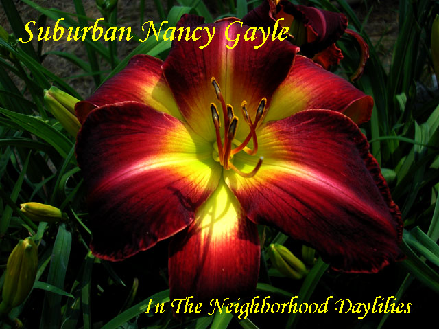 Suburban Nancy Gayle  (Watts,  2004)-Daylily;Day Lily;Daylilies;CLICK IMAGE TO ENLARGE;Daylily Suburban Nancy Gayle;Watts 2004 Daylily;Award Winning Daylily;Red Self Daylily;Reblooming Daylilies