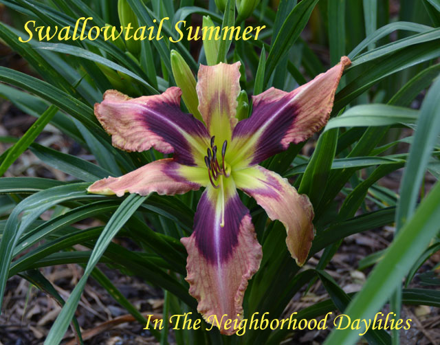 Swallowtail Summer  (Trimmer, J.,  2013)-Daylily;Daylilies;Day Lilly;CLICK ON IMAGE TO ENLARGE;Daylily Swallowtail Summer;Jane Trimmer 2013 Daylily;Lavender Blend w' Large Plum Eye & Chartreuse Throat Daylily;Reblooming Daylilies;Perennial Daylilies