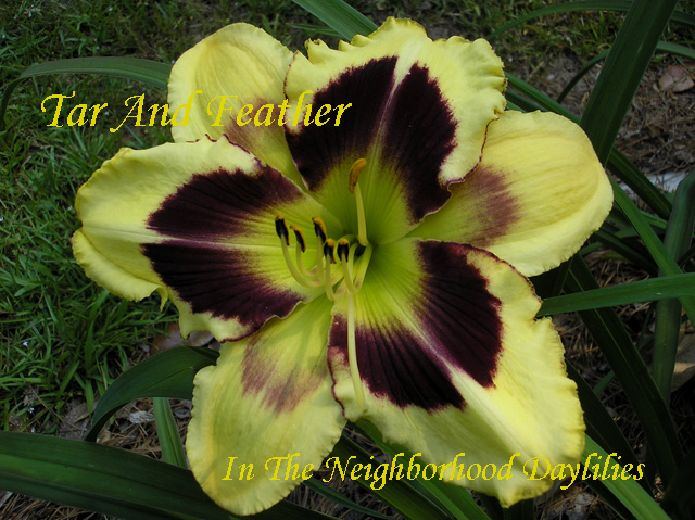 Tar And Feather     (Kaskel, 1999)-Daylily;Daylilies;Daylily Tar And Feather;Kaskel Daylily;Award Winning Daylily;Chrome Yellow w' Black Purple Eye Daylily;Tetraploid Daylily;Reblooming Daylily