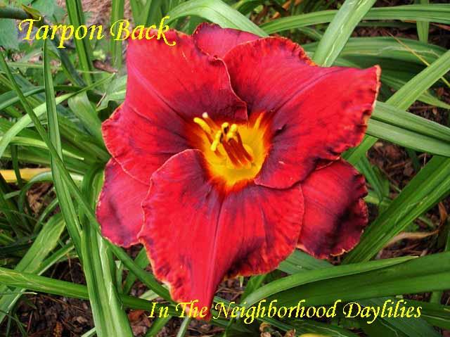 Tarpon Back  (Baker, C.,   2003)-Daylily;Daylilies Day Lily;Daylillies;;CLICK ON IMAGE TO ENLARGE;Tarpon Back Daylily;C. Baker 2003 Daylily;Red w' Black Band Daylily;Reblooming Daylilies;Semi-evergreen Daylily