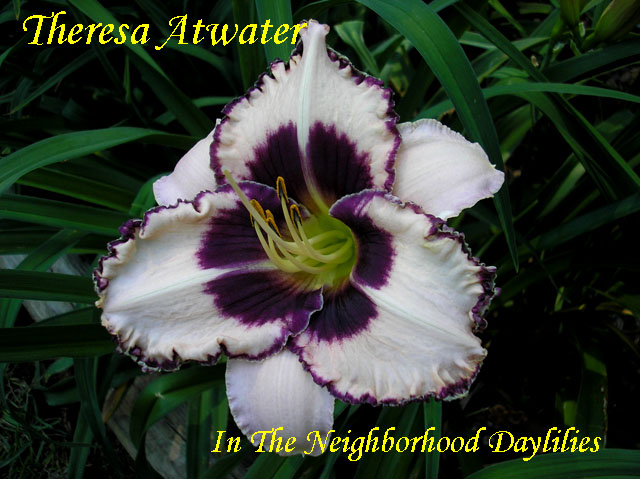 Theresa Atwater   (Moore,  2008)-CLICK ON IMAGE TO ENLARGE;Daylily;Daylilies;Daylillies;Daylily Theresa Atwater;2008 Moore Daylily;Cream w' Purple Eye & Gold & Purple Edge Daylily;Reblooming Daylilies;Very Fragrant Daylilies