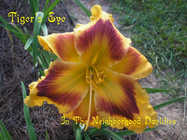 Tiger's Eye  (Carpenter, J., 1990)-Daylily Tiger's Eye;J.Carpenter Daylily;Gold w' Dark Maroon Eye Daylily;Daylily Picture;Perennials;Fragrant Daylilies;Reblooming Daylilies;Dormant Daylily