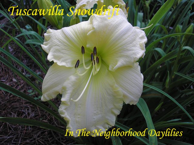 Tuscawilla Snowdrift  (Hansen,  2000)-Daylily;Daylilies;Daylillies;CLICK ON IMAGE TO ENLARGE;Daylily Tuscawilla Snowdrift;2000 Hansen Daylily;Near White Self above Light Green Throat Daylily;Award Winning Daylily;Reblooming Daylilies;Fragrant Daylilies