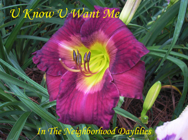 U Know U Want Me  (Owen, P.,  2014)-Daylily;Day Lily;Daylilies;CLICK IMAGE TO ENLARGE;Daylilies For Sale;U Know U Want Me Daylily;P.Owen 2014 Daylily;Very Deep Reddish Purple w'Heavy Reflective Sheen & Lavender Purple Eyewash & Green Throat Daylily;Reblooming Daylilies;Semi-evergreen Daylily;Perennials