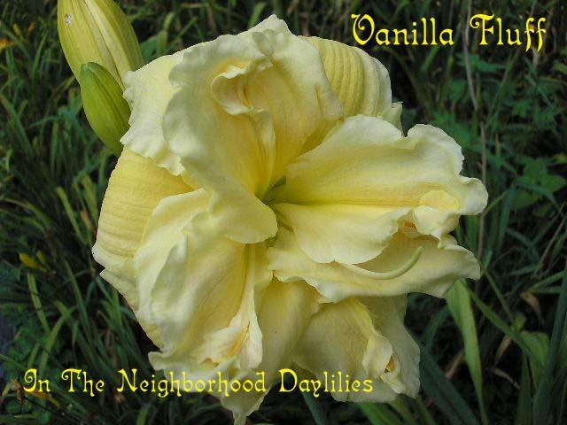 Vanilla Fluff   (Joiner, 1988)-Daylily Vanilla Fluff;Joiner Daylily;Light Cream Yellow Self Daylily;Double Daylily;Daylily Picture;Perennials;Award Winning Daylily;Affordable Daylilies;Very Fragrant Daylily;Midseason Daylily;Dormant Daylily