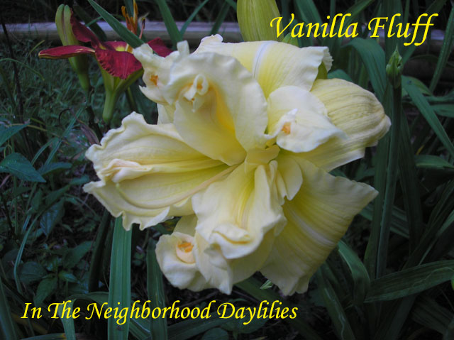 Vanilla Fluff   (Joiner, 1988)-Daylily Vanilla Fluff;Joiner Daylily;Light Cream Yellow Self Daylily;Double Daylily;Daylily Picture;Perennials;Award Winning Daylily;Affordable Daylilies;Very Fragrant Daylily;Midseason Daylily;Dormant Daylily