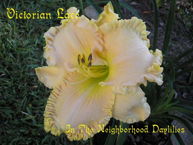 Victorian Lace  (Stamile, 1999)-Daylily;Daylilies;CLICK IMAGE TO ENLARGE;Daylily Victorian Lace;Stamile Daylily;Pink w' Gold Ruffled Edge Daylily;Daylily Picture;Perennials;Award Winning Daylily;Fragrant Daylilies;Early Midseason Daylily;Reblooming Daylilies