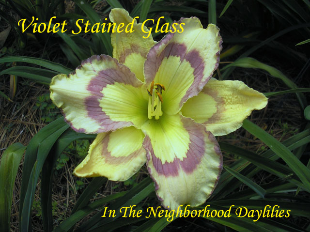 Violet Stained Glass  (Stamile-Pierce,  2010)-Daylily;Day Lily;Daylilies;CLICK ON IMAGE TO ENLARGE;Daylilies For Sale;Daylily Violet Stained Glass;Stamile-Pierce 2010 Daylily;Violet Eye &Edge On Warm Cream Base, Eye Extend onto Sepals Daylily;Reblooming Daylilies;Fragrant Daylilies;Perennials