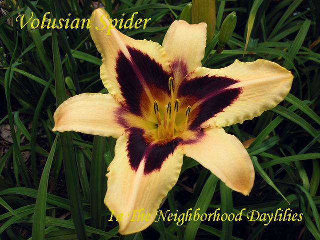 Volusian Spider  (Trimmer,  2001)-Daylily;Daylilies; Click Picture;Trimmer 2001 Daylily;Peach w' dark Purple Eye Daylily;Extra Early Blooming Daylily;Reblooming Daylilies
