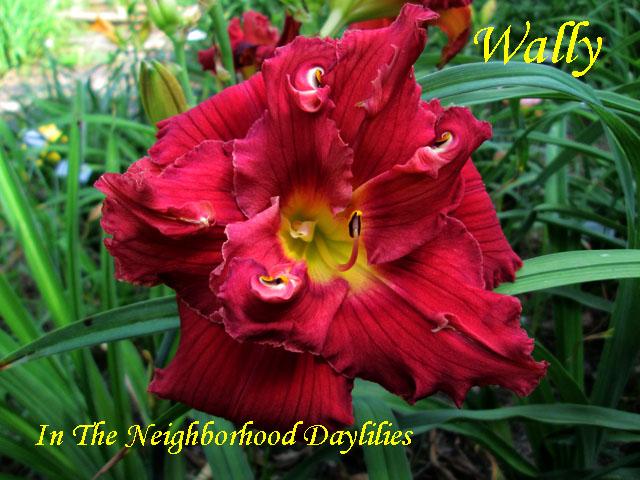 Wally  (Howard, T., 1991)-Daylily Wally;T.Howard Daylily;Cerise Red w' Dark Red Eye Daylily;Double Daylily;Daylily Picture;Perennials;Award Winning Daylily;Affordable Daylilies;Midseason Daylily