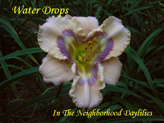 Water Drops  (Stamile,  2007)-Daylily;Daylilies;Daylillies;CLICK ON PICTURE TO ENLARGE;Daylily Water Drops;Stamile 2007 Daylily;Cream w' Blue Charcoal Fuchsia Lavender Eye Daylily;Reblooming Daylilies