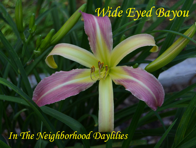 Wide Eye Bayou  (Murphy, J.P.,  2004)-Daylilies For Sale;Daylily;Day Lily;Daylilies;CLICK IMAGE TO ENLARGE;Daylily Wide Eye Bayou;J.P. Murphy 2004 Daylily;Lavender Cream Bitone w'Cream Midribs And Purple Eye Above Green Throat Daylily;Reblooming Daylilies;Fragrant Daylilies;Extra Large Daylily;Perennial