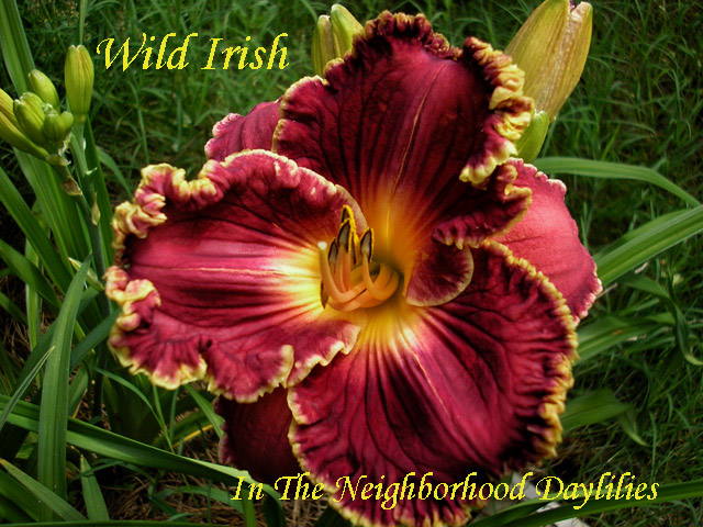 Wild Irish  (Gaskins, 2004)-Daylily;Daylilies;Daylily Wild Irish;Gaskins 2004 Daylily;Fragrant Daylilies;Reblooming Daylilies;Burgundy Red with Gold Edge Daylily