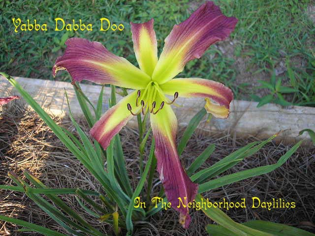 Yabba Dabba Doo  (Hansen, 1993)-CLICK PICTURE;Daylily;Daylilies;Daylily Yabba Dabba Doo;Hansen Daylily;Medium Purple Self Daylily;Spider Daylily;Daylily Picture;Perennials;Award Winning Daylily;Affordable Daylilies;Late Season Daylily;Reblooming Daylilies