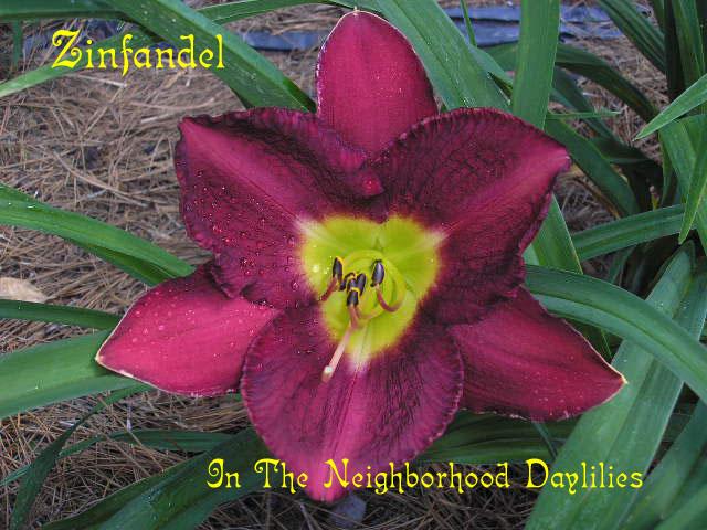 Zinfandel  (Kirchhoff, D., 1980)-Daylily Zinfandel;D.Kirchhoff Daylily;Purple Self Daylily;Daylily Picture;Perennials;Award Winning Daylily;Affordable Daylilies;Early Season Daylily;Reblooming Daylilies