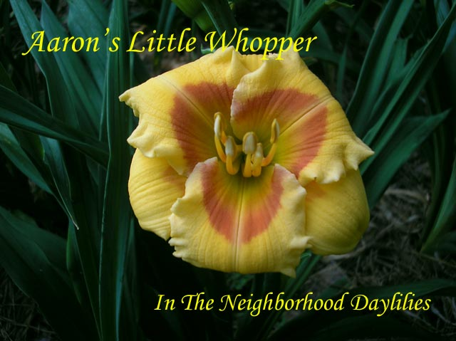 Aaron's Little Whopper (Joiner, A., 1999)-Click Picture;Daylily Aaron's Little Whopper;Joiner Daylily;Saffron Yellow w' Poppy Red Eye Daylily;Award Winning Daylily;1999 Registered Daylily;Evergreen Daylily;Diploid Daylily