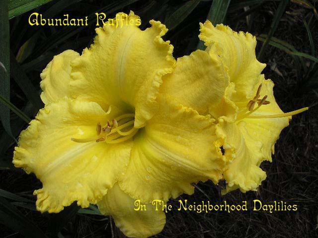 Abundant Ruffles  (Carr, 1995)-CLICK PICTURE;Abundant Ruffles Daylily,Carr Daylily,Bright Yellow Daylily,Early Midseason Daylily,Tetraploid Daylily,Affordable Daylilies