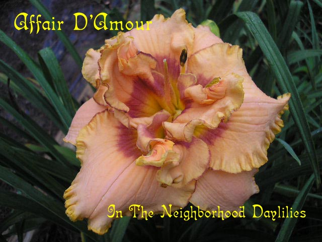 Affair D'Amour  (Kirchhoff, D., 2001)-CLICK PICTURE;Affair D'Amour Daylily,Kirchhoff Daylily,2001 Registered Daylily,Double Daylily,Melon Blushed Coral & Coral Rose Halo Daylily,Midseason Daylily,Award Winning Daylily