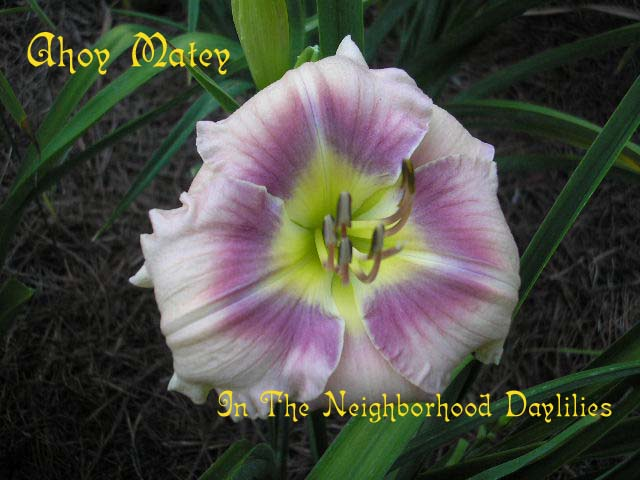 Ahoy Matey  (Hansen, 1994)-CLICK PICTURE;Ahoy Matey Daylily, Hansen Daylily,Cream Violet with Darker Violet Halo Daylily,Mid to Late Season Daylily, Reblooming Daylily, Affordable Daylilies,Award Winning Daylily