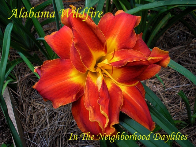 Alabama Wildfire (George, T.  2001)-Daylily;Daylilies;CLICK PICTURE To ENLARGE;Alabama Wildfire Daylily;T.George 2001 Daylily;Award Winning Daylily;Double Daylily;Red w' Gold Tan Edge Daylily;Reblooming Daylilies