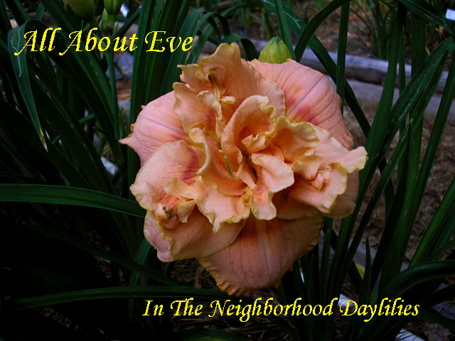 All About Eve  (Kirchhoff D., 2000)-CLICK PICTURE;All About Eve Daylily,Kirchhoff Daylily,Double Daylily,2000 Registered Daylily,Peach Pink & Rose Halo Daylily, Fragrant Daylily,Affordable Daylilies,Award Winning Daylily