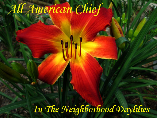 All American Chief  (Sellers,  1994)-Daylily;Daylilies;All American Chief Daylily;Seller 1994 Daylily;Award Winning Daylily;Reblooming Daylilies;Red Self Daylily;Early To Midseason Blooming Daylily