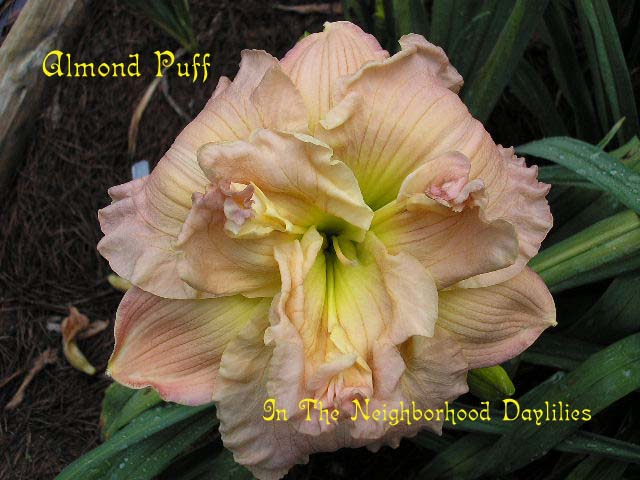 Almond Puff  (Stamile, 1990)-CLICK PICTURE;Almond Puff Daylily,Stamile Daylily,Double Daylily,Midseason Daylily,Fragrant Daylily,Affordable Daylilies,Award Winning Daylily