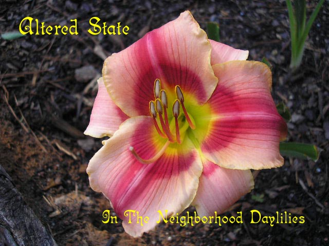 Altered State  (Carr,  1997)-Daylily;Daylilies;CLICK ON IMAGE TO ENLARGE;Altered State Daylily;Carr Daylily;Cherry Red w' Darker Cherry Eye & Pink Red Border Daylily;Reblooming Daylilies;Extended Bloom Time Daylily;
