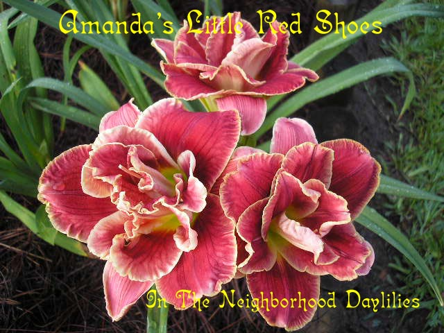Amanda's Little Red Shoes (Eller, N.,  2004)-Daylily;Daylilies;Daylillies;Daylily Amanda's Little Red Shoes;N.Eller 2004 Daylily;Double Daylilies;Award Winning Daylily;Rose Red w' White Edge above Yellow To Green Throat Daylily;Reblooming Daylilies;Semi-evergreen Daylily