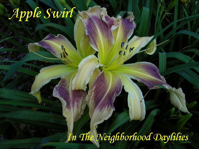 Apple Swirl   (Harris, Jn., 2002)-CLICK PICTURE;Apple Swirl Daylily;John Harris 2002 Daylily;Ocher w' Dark Lavender Eye Daylily; Unusual Form Daylily;Semi-evergreen Daylily;Diploid Daylily;Reblooming Daylilies;Midseason Daylily