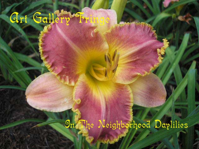 Art Gallery Fringe  (Lambertson, 1998)-CLICK PICTURE;Art Gallery Fringe Daylily;Lambertson Daylily; 1998 Registered Daylily;Rose Orange Bitone w' Gold Edge Daylily;Early Midseason Daylily;Reblooming Daylilies;Tetraploid Daylily;Semi-evergreen Daylily