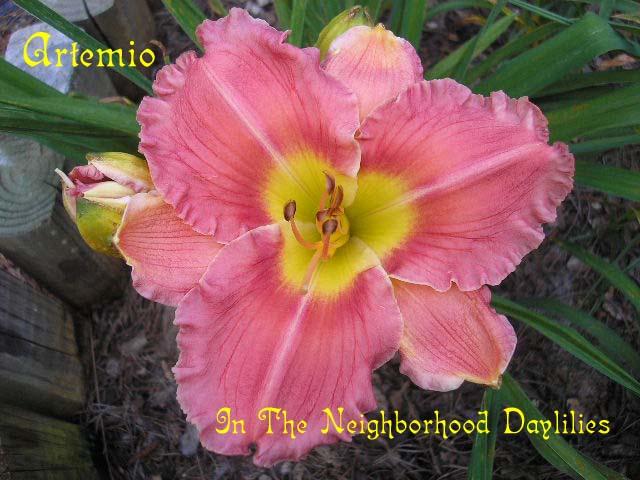Artemio (Bomar, 2002)-CLICK PICTURE to Enlarge;Daylily Artemio;Bomar Daylily;Rose Pink Blend w' Rose Halo Daylily;2002 Registered Daylily;Award Winning Daylily;Early Season Daylily; Reblooming Daylilies;Fragrant Daylilies;Diploid Daylily;Dormant Daylily