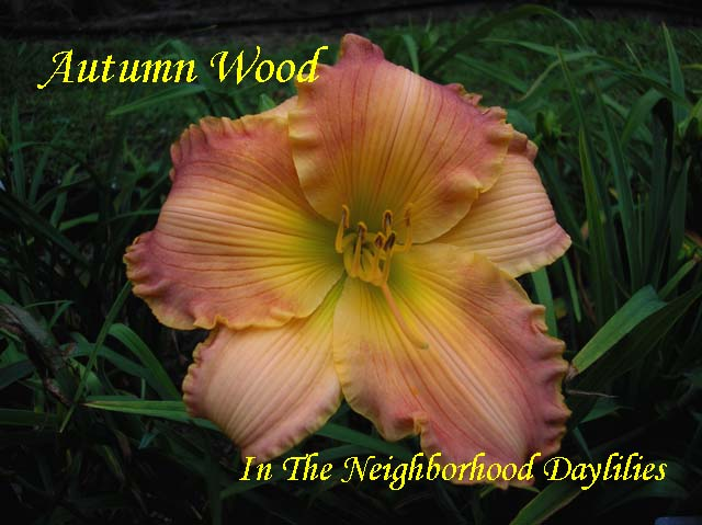 Autumn Wood  (Dougherty, H.  1991)-Daylily;Daylilies;CLICK ON IMAGE TO ENLARGE;H. Dougherty 1991 Daylily;Award Winning Daylily;Peach Green Polychrome Daylily;Dormant Daylily