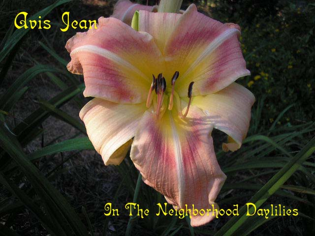 Avis Jean  (Wall, 1987)-CLICK PICTURE;Avis Jean Daylily;Wall Daylily;Pink w' Red Eye Daylily;1987 Registered Daylily;Award Winning Daylily;Midseason Blooming Daylily;Reblooming Daylilies;Diploid Daylily;Dormant Daylily;Affordable Daylilies