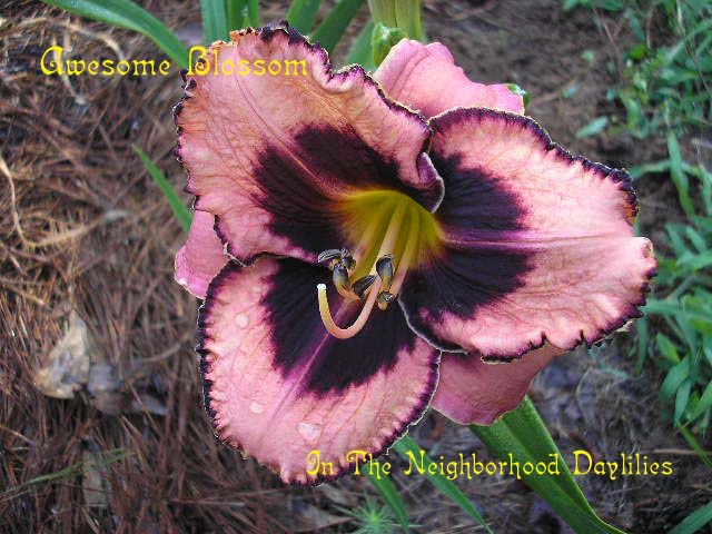 Awesome Blossom  (Salter, 1996)-CLICK PICTURE;Awesome Blossom Daylily;Salter Daylily;Antique Rose w' Raisin Plum Eye Daylily;Award Winning Daylily;1996 Registered Daylily;Early Midseason Daylilies;Reblooming Daylilies;Tetraploid Daylily; Evergreen Daylily
