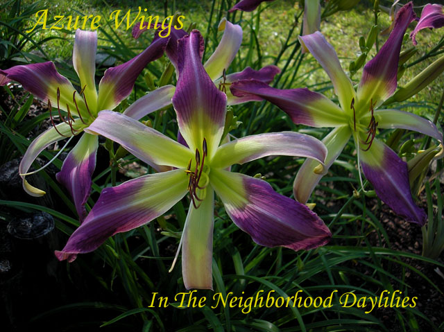 Azure Wings  (Stamile, 2005)-CLICK PICTURE;Azure Wings Daylily;Stamile Daylily;Orchid Lavender Bicolor Daylily;Spider Daylily;2005 Registered Daylily;Early Midseason Daylily;Reblooming Daylilies;Tetraploid Daylily;Evergreen Daylily