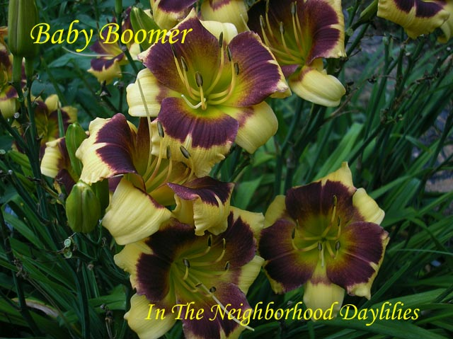 Baby Boomer  (Herrington, T., 1996)-CLICK PICTURE;Daylily Baby Boomer;Tim Herrington Daylily;Yellow w' Purple Eye Daylily;Award Winning Daylily;1996 Registered Daylily;Early Season Daylily;Diploid Daylily;Evergreen Daylily