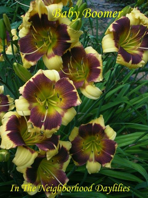 Baby Boomer  (Herrington, T., 1996)-CLICK PICTURE;Daylily Baby Boomer;Tim Herrington Daylily;Yellow w' Purple Eye Daylily;Award Winning Daylily;1996 Registered Daylily;Early Season Daylily;Diploid Daylily;Evergreen Daylily